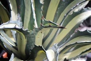 Sprzątamy agawy i kaktusy przed mrozem