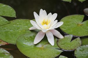 Ścinamy i usuwamy martwe liście i kwiatostany, aby nie gniły w wodzie