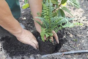 Drugi krok - wykopanie dołka i zaprawienie go kompostem