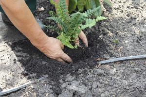 Trzeci krok, posadowienie rośliny na odpowiedniej glębokości