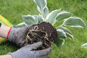 Warto nieco naruszyć korzenie aby szybciej wrosły w podłoże