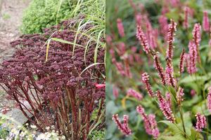 Kwiatostany niektórych bylin zostawiamy na zimę (Sedum spectabile i Persicaria)