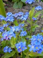 Niezapominajka - roślina dwuletnia