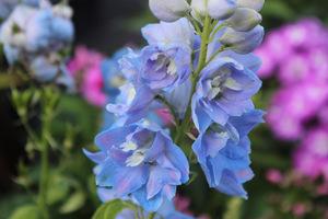 Ostróżki kwitną dwa razy (ścinanie konieczne)