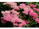 Talerzowate kwiatostany krwawników występują w kolorach białym, żółtym, różowym, pomarańczowym i czerwonym