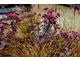 Carex testacea i Sedum spectabile 'Karfunkelstein'