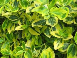 """Euonymus fortunei """"Emerald'n Gold"""" - krzewinka zimozielona"""