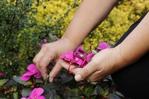 Czyścimy przekwitnięte kwiatostany