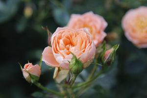 Jeszcze kwitną ostatnie róże, kwiaty pozostawiamy na krzewach