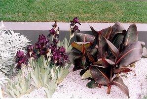 Canna o ciemnych liściach i Iris o ciemnych kwiatach
