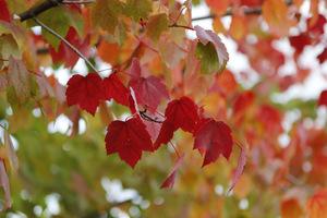 Czerwone liście klonu. Jeśli spadają do stawu, wyławiamy je