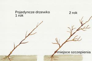 Pojedyncze drzewka w kordonie pochylone są pod kątem 45 stopni