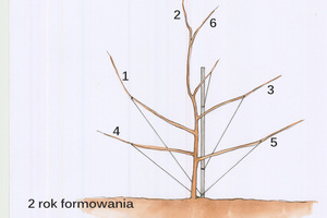 Drugi rok - w okresie od lutego do marca pędy 1, 3, 4 i 5 powinny być przywiązane i odciągnięte do dołu