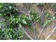 Szczegóły prowadzenia drzewka figowego przy murze