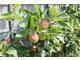 Latem gałęzie wytwarzające nowe przyrosty skraca na około 6 centymetrów, pod koniec lipca znowu i we wrześniu ponownie