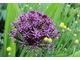 Allium atropurpureum - czosnek purpurowy
