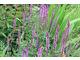 Salvia nemorosa 'Amethyst' - szałwia omszona