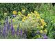 Veronica 'Hocus Pocus' i Phlomis fruticosa