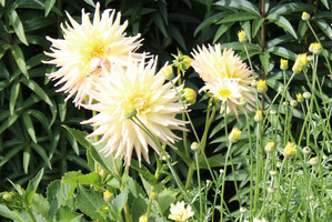 Dahlia 'Shooting Star'