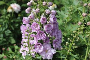 Delphinium o fioletowych, pełnych kwiatach