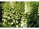 Delphinium (ostróżka) o kremowych kwiatach