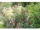Phlox paniculata 'Goldmine' o kremowo paskowanych liściach, a karminowe punkciki to świerzbnica - Knautia macedonica