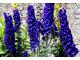 Delphinium o ciemnoniebieskich, okazałych kwiatostanach