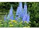 Żółta Achillea millefolium i Delphinium o niebieskich kwiatostanach