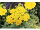 Achillea millefolium 'Moonshine'
