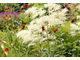 Bordowe kwiaty liliowców (Hemerocallis) na tle delikatnych kwiatostanów parzydła (Aruncus sylvestris)