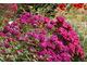 Dwuletni Dianthus barbatus