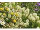 Kremowe kwiaty Trifolium ochroleucum i żółte Centaurea macrocephala