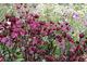 Jedna z najpopularniejszych bylin angielskich rabat - Astrantia major