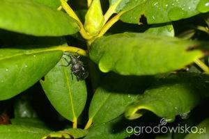 Dwie samice na krzewie różanecznika, fot. Kasiek