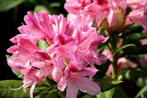 Zdrowy, obficie kwitnący różanecznik to marzenie każdego ogrodnika (na zdj. odmiana 'Cosmopolitan'), fot. Danuta Młoźniak