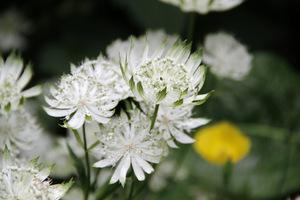 Czysto białe kwiaty widać z daleka