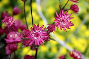 Delikatne, kuliste, a jednocześnie gwiazdkowate kwiatki, błyszczą niczym koraliki w broszkach