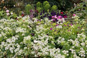Białe jarzmianki, a w tle fioletowe szałwie, różowe bodziszki i róże