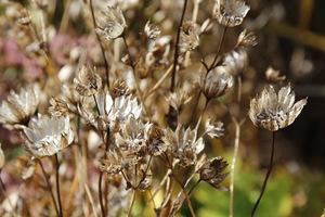 Suche kwiatostany z nasionami
