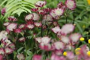 Ciekawe kwiatostany z bardzo jasnym środkiem, prawdopodobnie odmiana 'Star of Beauty'