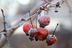 Owoce na drzewach i krzewach zostaną jako pożywienie dla ptaków, ale nie zapominajmy o dokarmianiu dodatkowym