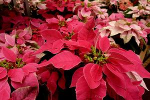 Poinsecja - tradycyjna roślina na Boże Narodzenie