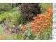 Pomarańczowe lilie tygrysie, a w tle ciemne liście dalii z pomarańczowymi kwiatami