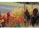 Alstroemeria, a po prawej ciemne liście paciorecznika
