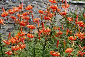 Pomarańczowe lilie tygrysie