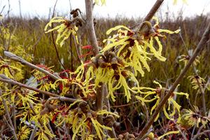 Hamamelis x intermedia - oczar pośredni, kwitnie już w lutym i marcu