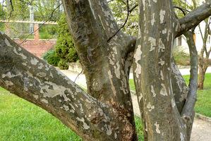 Stewartia - u tego drzewa kora jest gładka, ale odklejają się łatki, które zostawiają nieregularne plamy