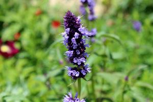 Agastache wyróżnia atrakcyjność dla pszczół i motyli. Na zdjęciu Agastache 'Black Adder'