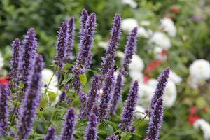 Agastache czyli kłosowiec, to urocza, aromatyczna bylina, produkująca kłosowate kwiatostany rurkowych kwiatków i zdobi nimi ogród od połowy lata aż do jesieni