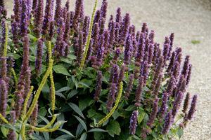 Mogą być stosowane jako kolorowe kępy bylin do sporych szczelin w ogródkach ziołowych lub w nasłonecznionych, suchych miejscach, na przykład na kamiennych murkach
